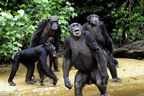 Секс с шимпанзе и люди