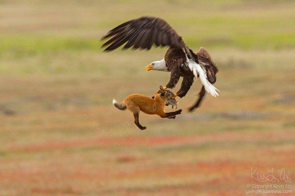 Орёл и лиса борются за кролика