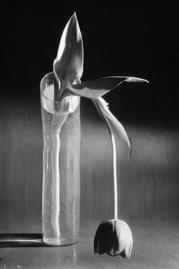 Меланхоличный тюльпан