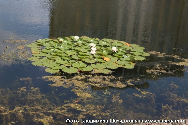 Кувшинки на Егерском пруду